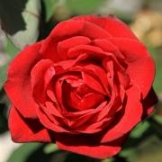 Розы Гранд Гала