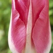 Тюльпаны Пейдж Полька