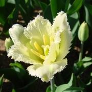 Тюльпаны Роял Сфинкс