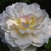 Розы Мария Магдалена