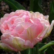 Тюльпаны Пинк Стар