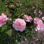 Розы Бременские Музыканты