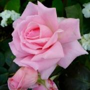 Róże Helen Robinson