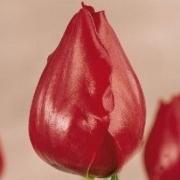 Тюльпаны Ван ден Бергс Мемори