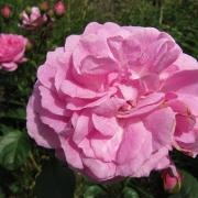 Розы Корал Даун