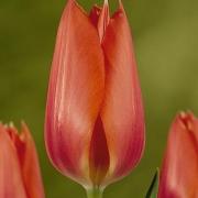 Тюльпаны Темпл оф Бьюти