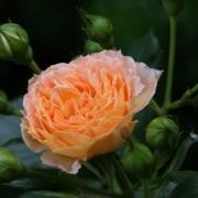 Розы Алисон Уиткрофт