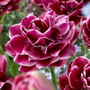 Тюльпаны Дрим Тач