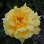 Розы Марко Поло