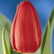 Тюльпаны Съякамаро