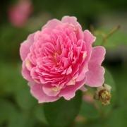 Розы Харлоу Карр