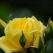 Розы Голден Шоуэрс
