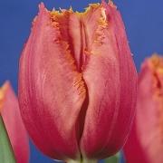 Тюльпаны Мэдисон Гарден