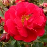 Розы Хейдефоер