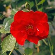 Розы Данс ду Фью