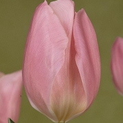 Тюльпаны Эарли Глори