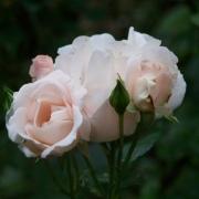 Розы Фогельпарк Вальсроде