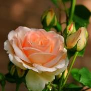 Розы Ребекка Мари