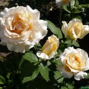 Розы Казанова