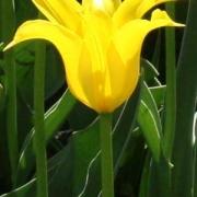 Тюльпаны Баллад Голд