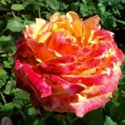 Розы Банзай 83