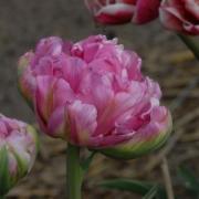 Тюльпаны Эрос