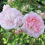 Розы Роузмоор