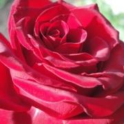 Розы Конрад Хенкел