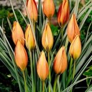 Тюльпаны Пикколо