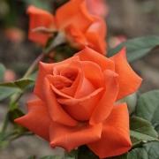 Розы Бьюти Стар