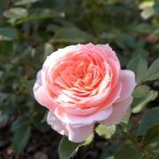 Розы Прешиус Дрим