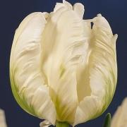 Тюльпаны Уитте Ребел