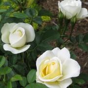 Розы Ж.П.Коннелл