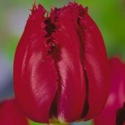 Тюльпаны Корридор