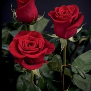 Розы Форевер Янг