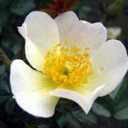 Розы Сонненрошен