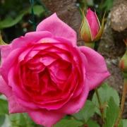 Розы Пинк Клауд