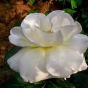 Розы Поларстерн