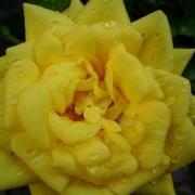 Розы Голдджувел