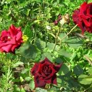 Розы Дарк Ангел Виталроуз