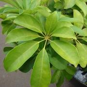 Комнатные растения Шеффлера