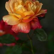 Розы Спилварк