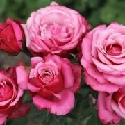 Розы Графиня Соня