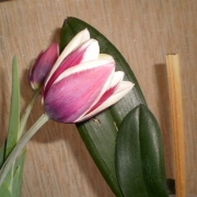 Тюльпаны Шансоннетте