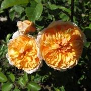 Розы Порт Санлайт