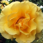 Розы Голден Йеарс