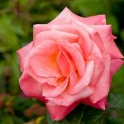 Розы Силвер Юбилей