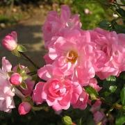 Розы Сатина