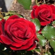 Розы Дон Жуан