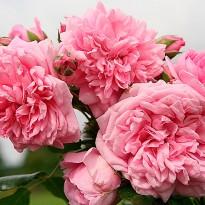 Роза Свит Лагуна KORDES